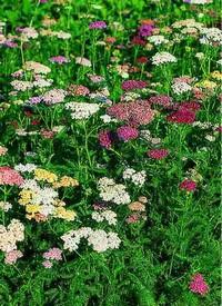 Nyáron virágzó évelők a Megyeri kertészetből