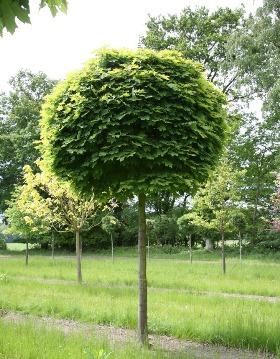 Gömbkoronájú fák széles választéka gömbjuhar