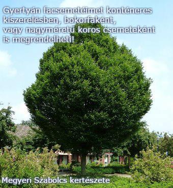 gyertyán facsemete vásárlás Megyeri kertészet