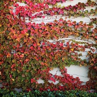 vadszőlő fajták a Megyeri kertészetben