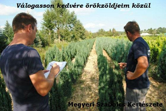 örökzöld növények vásárlása a Megyeri kertészetben