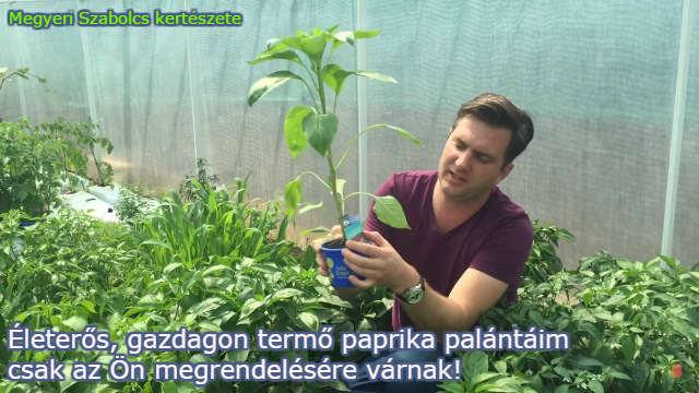 paprika palánta rendelés Megyeri kertészet