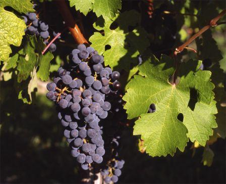 vörös borszőlő fajták a Megyeri kertészetben