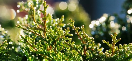 Leylandi ciprus vásárolható a Megyeri kertészetből.