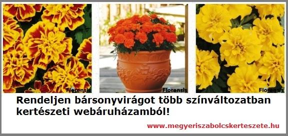 Bársonyvirág rendelhető a Megyeri kertészetből!