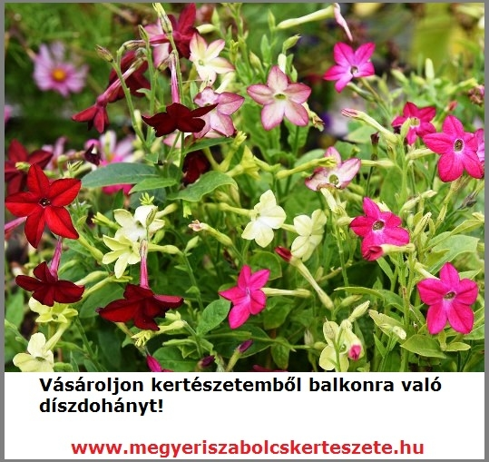 Díszdohány kapható kertészeti webáruházamban!