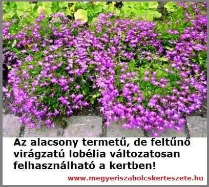 Lobélia kapható a Megyeri kertészetben!