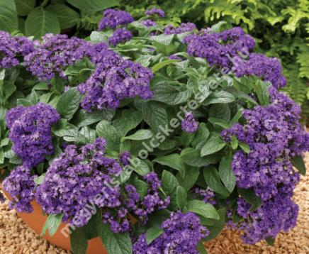 Vaníliavirág rendelhető a Megyeri kertészetből!