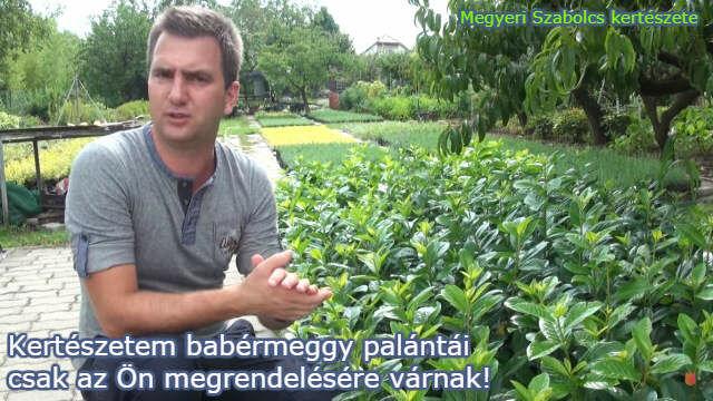 babérmeggy vásárlása a Megyeri kertészetben