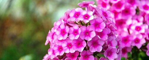 Azálea cserjék kaphatók a Megyeri kertészetben!