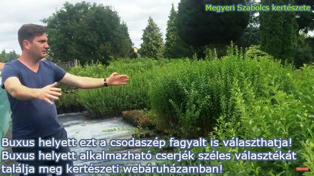Buxus helyett ültethető növények a Megyeri kertészetből!