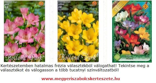 Frézia virághagyma vásárlás a Megyeri kertészetben