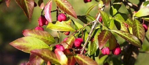 Kecskerágó fajták kaphatók a Megyeri kertészetben!