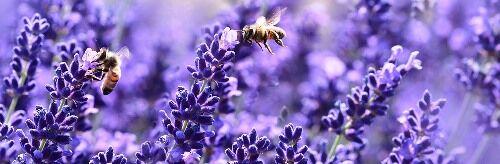 Liláskék levendula kapható a Megyeri kertészetben!