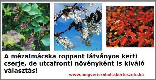 Mézalmácska kapható kertészeti webáruházamban!