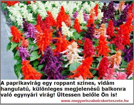 Paprikavirág kapható a Megyeri kertészetben!