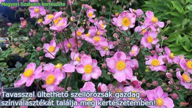 Tavasszal ültethető szellőrózsák a Megyeri kertészetben