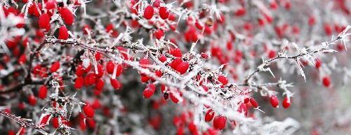 Télen is dekoratív, színes cserjék széles választéka kertészetemben!