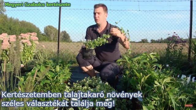 talajtakaró növények a Megyeri kertészetben!