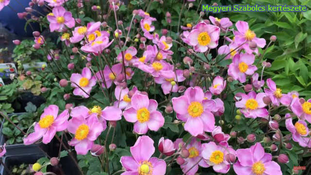 Tavaszi évelő virágok a Megyeri kertészetben!