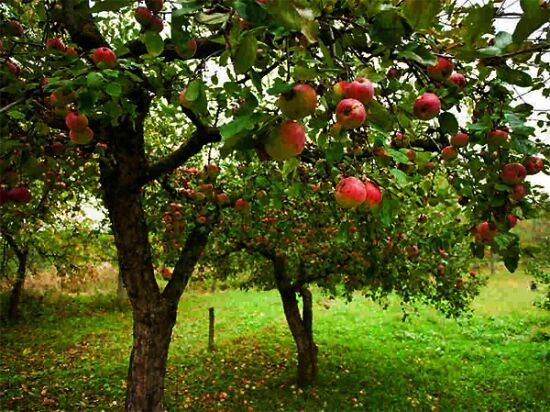 Gyümölcsfa csemeték rendelhetők kertészetemből!