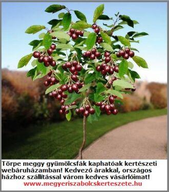 Törpe meggy gyümölcsfa csemete a Megyeri kertészetben!