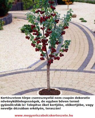 Törpe cseresznyefa csemeték a Megyeri kertészetben!