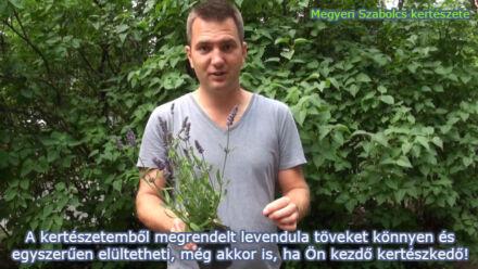 levendula vásárlás Megyeri kertészet