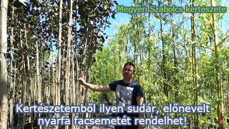 nyárfa facsemete vásárlás Megyeri kertészet