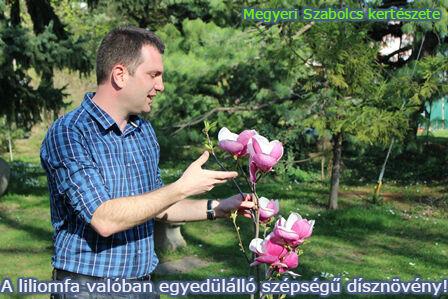 liliomfa vásárlás Megyeri kertészet