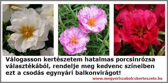 Porcsinrózsa rendelhető a Megyeri kertészetből!