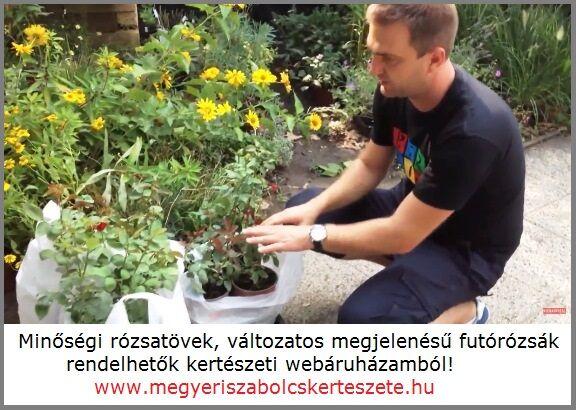 Futórózsák széles választéka a Megyeri kertészetben!