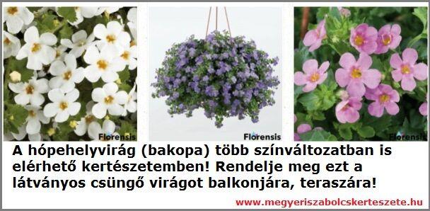 Hópehelyvirág rendelhető a Megyeri kertészetből!