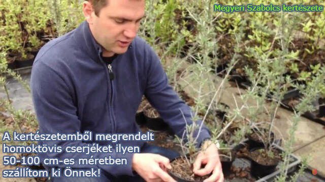 homotövis cserje vásárlás a Megyeri kertészetben