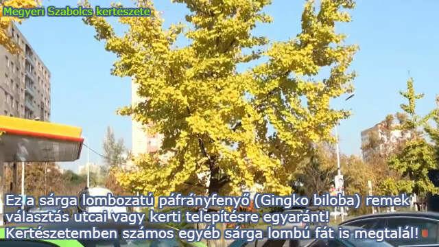 sárga levelű fák a Megyeri kertészetből!