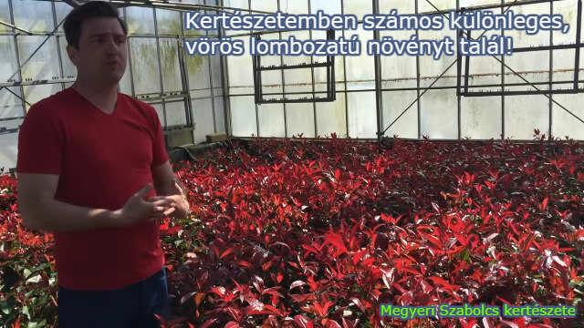 vörös lombozatú növények vásárlása