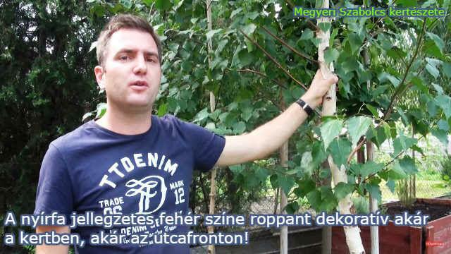 Nyírfa facsemete vásárlás a Megyeri kertészetben!