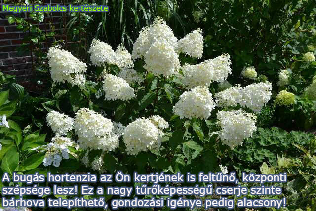 bugás hortenzia kapható a Megyeri kertészetben